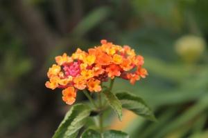 scent_lantana